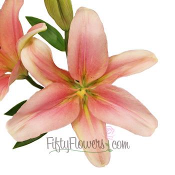 Pinky Mauve Hybrid Lily