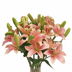 Mauve Hybrid Lily Flower