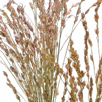 Broomcorn Autumn Greens