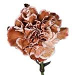Brownie Carnation Flower bloom view
