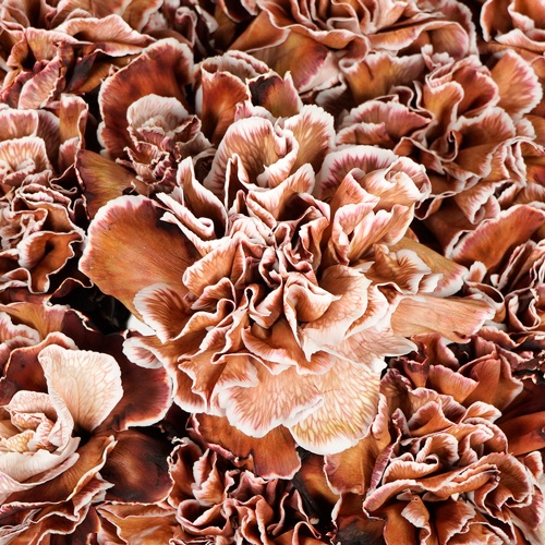 Brown Wholesale Carnations Up close