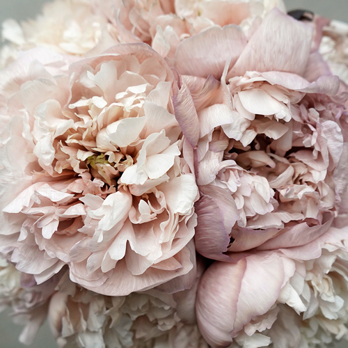 Blush Brownie Peony May Delivery