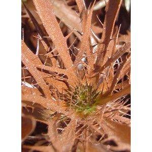 Copper Thistle Bulk Flower