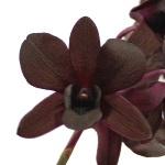 Fresh Cut Dendrobium Green Orchid Flowers Variety Jade