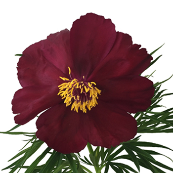 Burgundy Early Scout Peonies