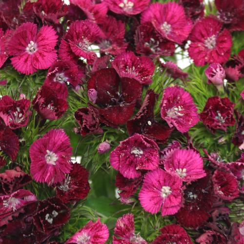 Burgundy Bohemian Dianthus Flower
