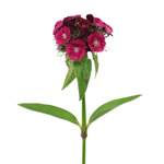 Wine_Dianthus_Flower