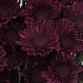 Shock Novelty Pom Purple Flower