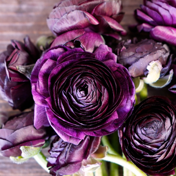 Fresh Ranunculus Purple Flower