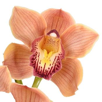 Copper Beauty Cymbidium Orchid