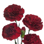 Bulk Burgundy Mini Carnation Flowers