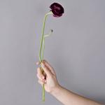 Burgundy Ranunculus Wedding Flower
