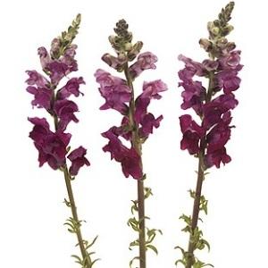 Snapdragon Burgundy Flower