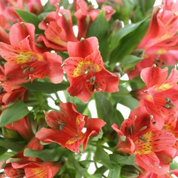 Burnt Orange Alstroemeria Bulk Flower