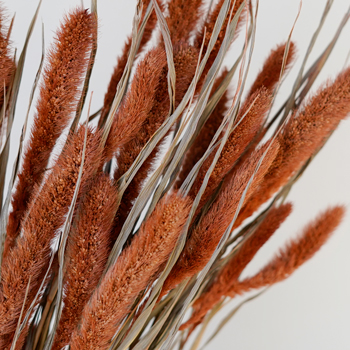 Burnt Orange Foxtail Grass