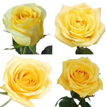 Valentine\\\'s Butter Yellow Rose Special