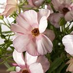 Butterfly Ranunculus Flower Wedding Bouquet Dusty Pink