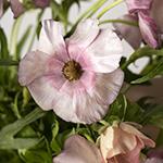 Butterfly Ranunculus Pink DIY Wedding Flowers