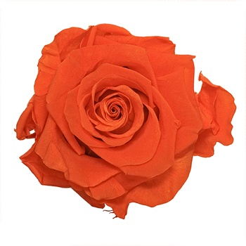 Preserved Classic Orange Rose