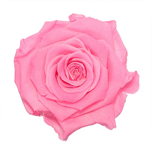 Preserved Classic Pink Rose