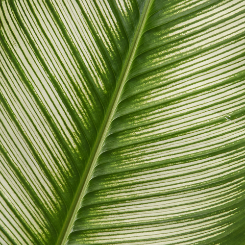 Calathea Leaves Tropical Greenery