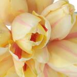 Bulk White French Tulip flower