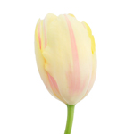 Bulk White French Tulip flower
