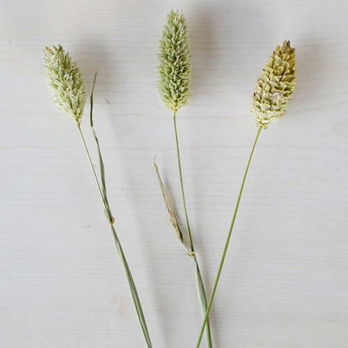 Wedding greenery canary wholesale bulk filler flowers sold near me