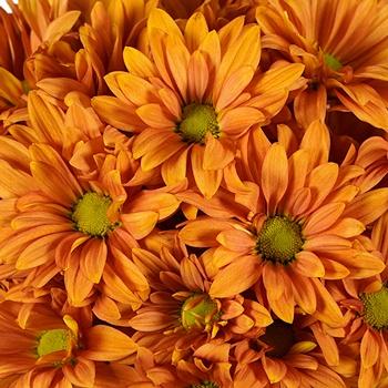 Mango Tango Daisy Flower