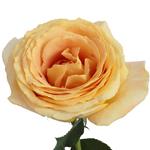 Garden Rose Yellow Candlelight