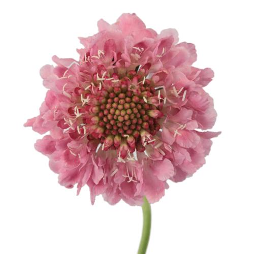 Pink Sherbet Scabiosa Flower