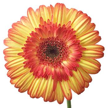 Candy Corn Gerbera Flowers