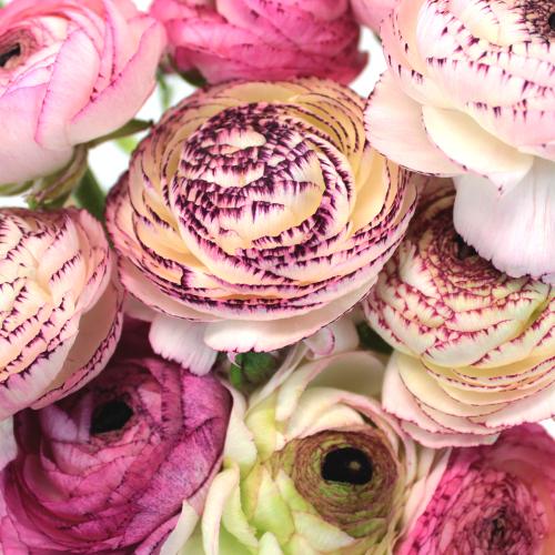 Bridal Blush Ranunculus Fresh Cut Flower