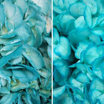 Caribbean Blue Enhanced Hydrangea
