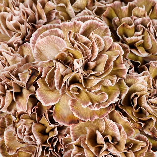 Sepia Brownie Carnation
