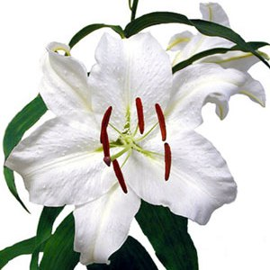 Casa Blanca Oriental Lilies
