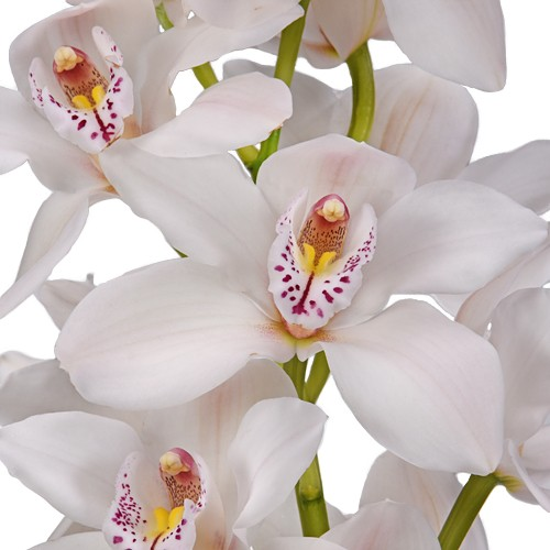 Cymbidium Orchids Blush with Pink Spotted Lip