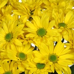 Yellow Fresh Bulk Daisy Flower
