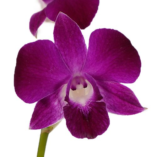 Violicious Dendrobium Orchid Flower