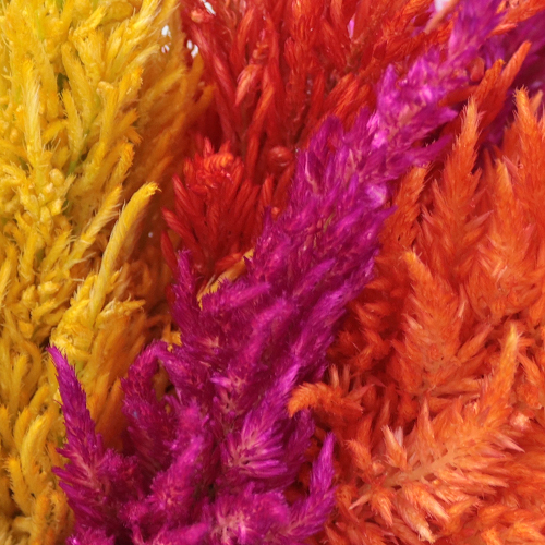 Assorted Feather Celosia Flowers