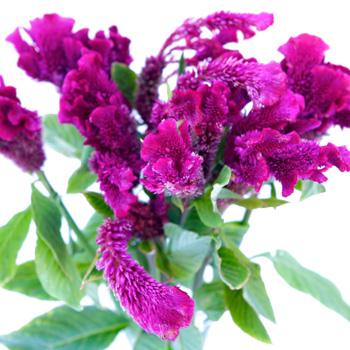 Brain Celosia Magenta Purple Flower
