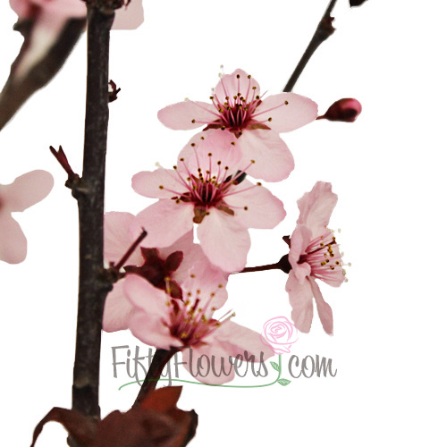 Blooming Pink Cherry Blossom Branches