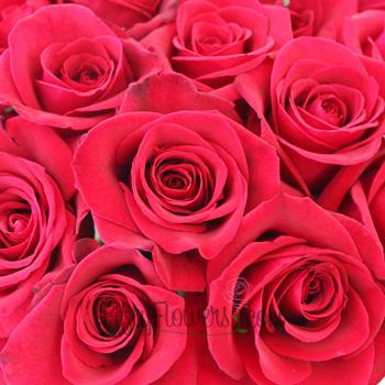 Cherry Love Red Rose