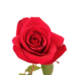 Red Rose Cherry Love