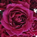 Chess Purpleberry Roses up close