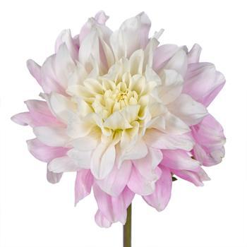 Peekaboo Blush Dahlia Flower
