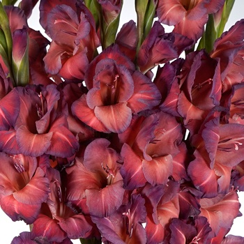 Gladiolus Coral Wine Flower