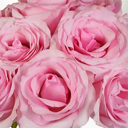 Millennial Pink Gigantic Rose