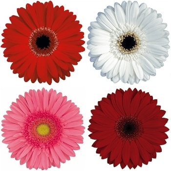 Valentines Day Pink and Red Gerbera Daisy