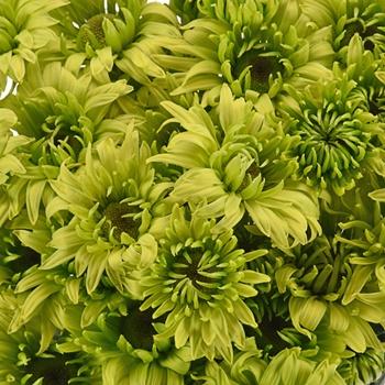 Green Envy Pom Flower